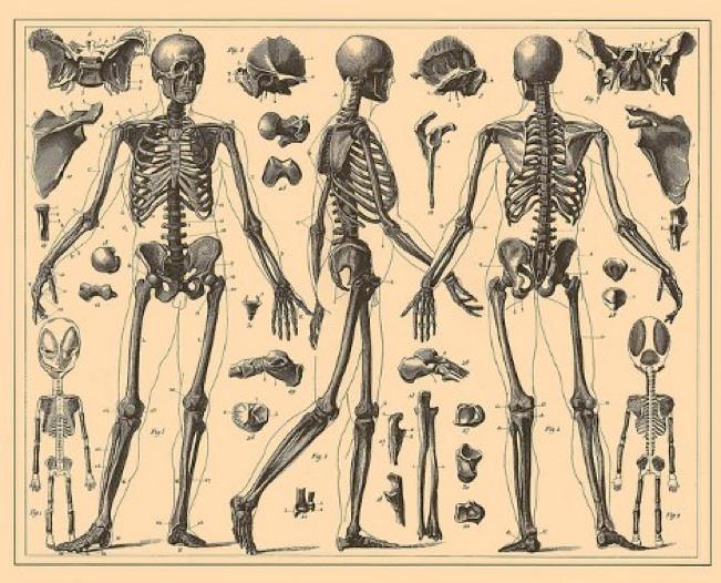Cours kiné anatomie